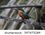 Small photo of Male American Pygmy Kingfisher perched on a branch