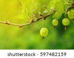 Ripe Green Gooseberry On A...