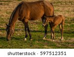 Mare And Newborn Foal On Farm...