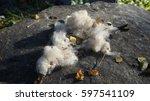 kapok  ceiba pentandra or white ... | Shutterstock . vector #597541109