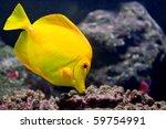 A Yellow Tang  Zebrasoma...