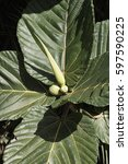 Small photo of Papua New Guinea Highland breadfruit tree leaves, a fig tree (Ficus dammaropsis or Kapiak) with fruit that resembles genitalia