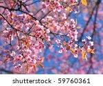 Pink sakura flowers  and blue sky - stock photo