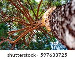 A Pine Tree On A Background Of...