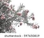 Pink Flower Or Oleander Flower...
