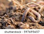 Macro Shot Of An Earthworm...
