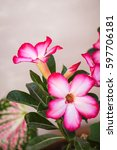 Small photo of Adenium obesum or desert rose, Impala lily in nature light, closeup angle