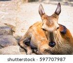 deer at itsukushima shrine in... | Shutterstock . vector #597707987