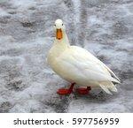 albino mallard duck over snow...   Shutterstock . vector #597756959