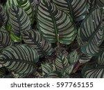 calathea majestica m.kenn. cu... | Shutterstock . vector #597765155