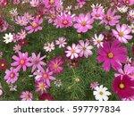 starburst flower fields | Shutterstock . vector #597797834