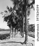 palm trees in black and white... | Shutterstock . vector #597834599