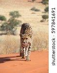 Kalahari  Namibia   May 13 ...