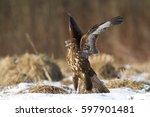 Birds Of Prey   Common Buzzard...