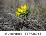 Small photo of The Leontice (Gymnospermium odessanum) flowering in spring meadow.