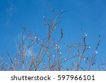 Spring Branch Young Willow  An...
