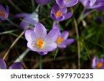 View Of Blooming Spring Flower...