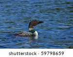 Common Loon Swims In A Lake Of...