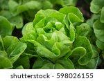 butterhead lettuce salad plant  ...   Shutterstock . vector #598026155