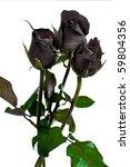 Beautiful Black Rose On White...