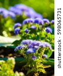 Small photo of Ageratum littorale, (billygoat-weed, chick weed, goatweed, whiteweed) is a plant species native to Florida, the common name referring to Cape Sable inside Everglades National Park.