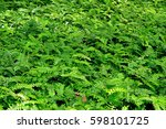 Small photo of Adiantum aleuticum background from nature.