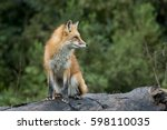 Snaggletoothed Red Fox