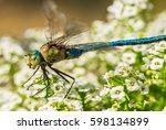 Dragonfly Macro  Odonata  Blue...