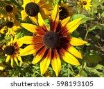 Sunflower Ornamental Brown...