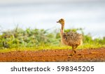ostrich chick at the cape of... | Shutterstock . vector #598345205