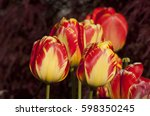 Yellow And Red Tulips Found In...