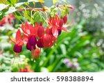 fuchsia magellanica flower ...   Shutterstock . vector #598388894