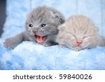 Stock photo british kitten on grey background 59840026