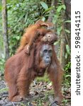 mother orangutan and cub in a... | Shutterstock . vector #598414115