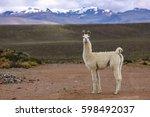white lama in altiplano... | Shutterstock . vector #598492037