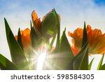 Orange Tulips Under Sunlight A...