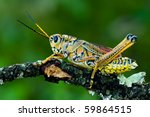 A Lubber Grasshopper Holding...
