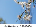 Tree branch with white cherry flowers blooming on blue sky, free copy space - stock photo