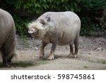 Bornean Bearded Pig  Sus...