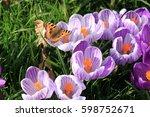small tortoiseshell butterfly... | Shutterstock . vector #598752671