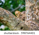 lioness hides in the foliage of ... | Shutterstock . vector #598764401