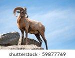 A Majestic Lone Dall Sheep Ram...