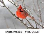 Male Northern Cardinal ...