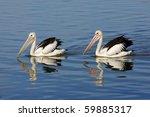 Australian Pelicans  Pelecanus...