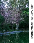 Flowering Sakura Tree In The...