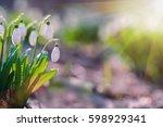 Beautiful Snowdrops   Galanthu...