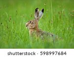 Stock photo european hare lepus europaeus czech republic 598997684