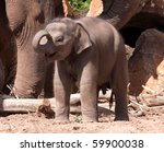 Stock photo baby elephant in between the legs of its parents captive animal in a zoo 59900038