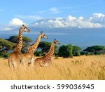 three giraffe on kilimanjaro... | Shutterstock . vector #599036945