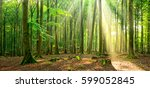 Natural Beech Tree Forest...